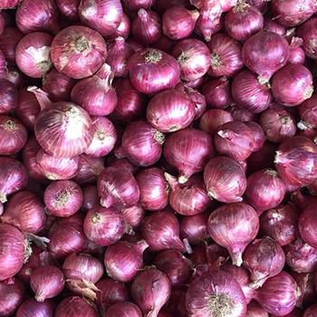 nasik onion1